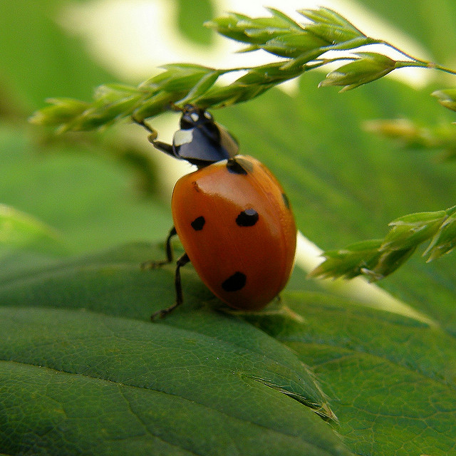 The Ladybug has something of a strange life cycle and one that surprises many people. From egg to fully grown ladybug, join us on a journey ...
