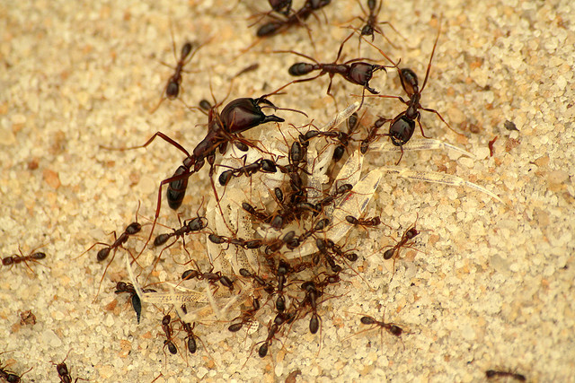 African army ants
