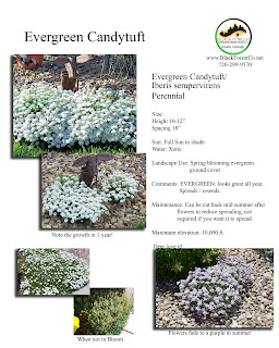 Candytuft Flowers on Posted By Black Forest Landscape Design Studio At 10 05 Am
