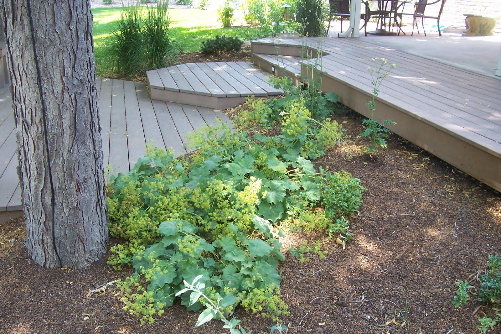 Denver landscape plants lady s mantle for Forest landscape design