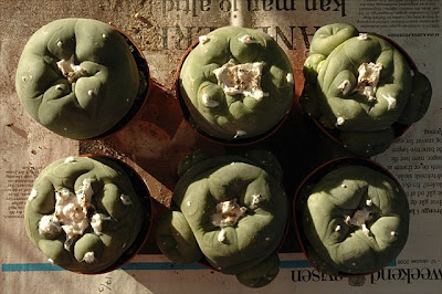 Six large Lophophora plants