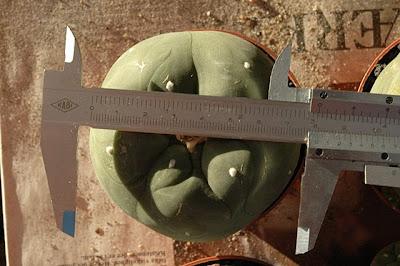 Lophophora 7.5 cm in diameter