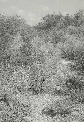 Fig. 8 - Natural habitat of peyote on Las Islas Ranch, Starr County, Texas