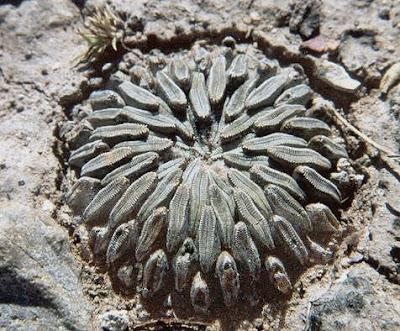 Pelecyphora aselliformis in habitat