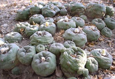 Lophophora diffusa ssp. kubesai