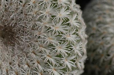 Epithelantha micromeris v. greggii – closeup