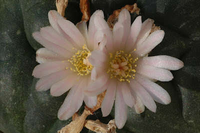 Two early Lophophora williamsii flowers
