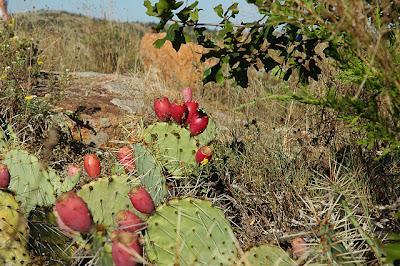 Fruiting Opuntia sp. (O. phaeacantha?)