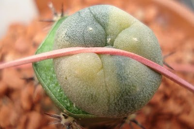 Lophophora williamsii f. variegata grafted on Harrisia