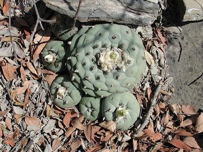 Group of Lophophora diffusa near Vizarron, Queretaro, Mexico