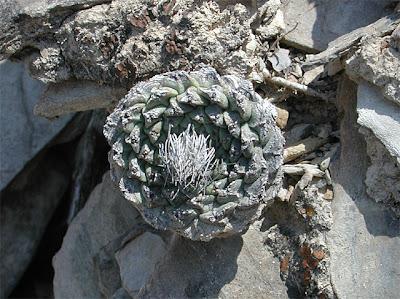Strombocactus disciformis, near Vizarrón, Querétaro, México