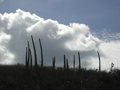 Cephalocereus columna-trajani,(syn. C. hoppenstedtii), near Tehuacán, Puebla, México
