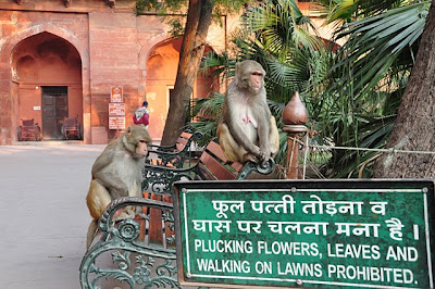 Monkeys at Agra Fort