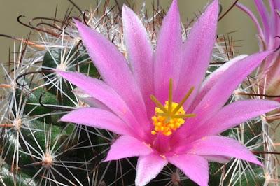 Mammillaria grahamii flower