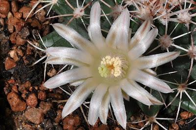 Mammillaria meiacantha flower