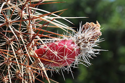 Echinocereus engelmannii v. armatus with fruit