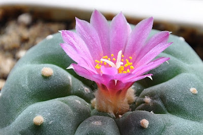 Lophophora fricii flower