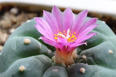 Lophophora fricii flower