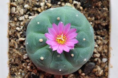 Flowering Lophophora fricii