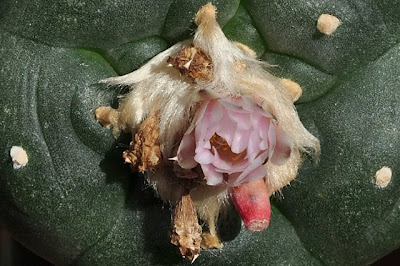 Grafted Lophophora williamsii, first flower of the season