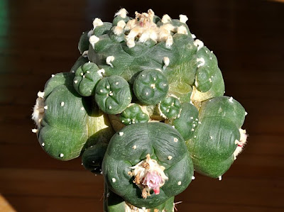 Lophophora williamsii grafted on Trichocereus pachanoi stock