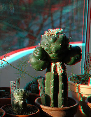Anaglyph image - Lophophora williamsii graft