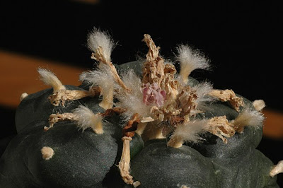 Lophophora williamsii - ready for seed harvest