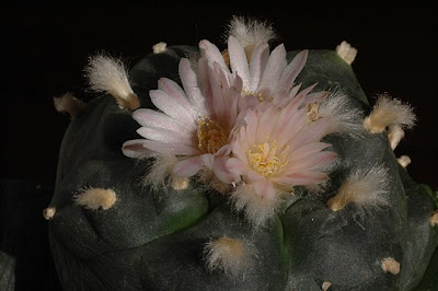 Lophophora williamsii displaying three flowers