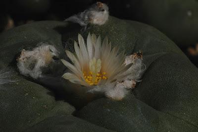 Lophophora flower