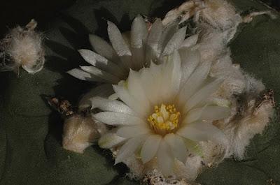 Lophophora flowers