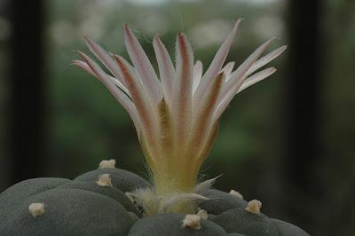 Flowering Lophophora koehresii (RS 1182; El Sabino, San Luis Potosí)
