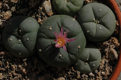 Flowering Lophophora decipiens viewed from above