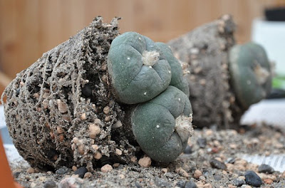 Lophophora williamsii plants removed from the pots