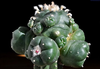 Lophophora williamsii grafted onto Trichocereus pachanoi stock