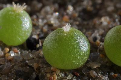 Lophophora fricii seedlings (KS 198; Viesca, Coahuila, Mexico)