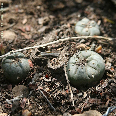 Harvested peyote plant (#128) growing 3 new pups
