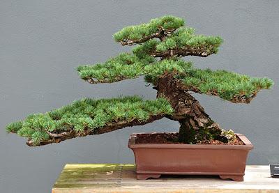 Bonsai Pinus parviflora, informal upright style