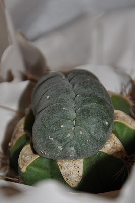Crested Lophophora williamsii, front view