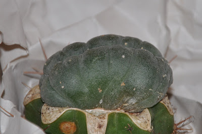 Lophophora williamsii f. cristata, side view