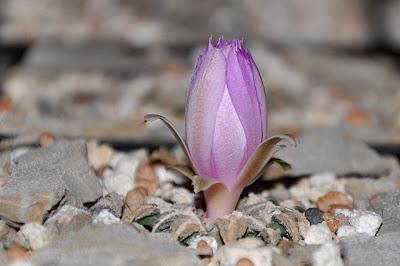 Ariocarpus kotschoubeyanus var. macdowellii flower bud