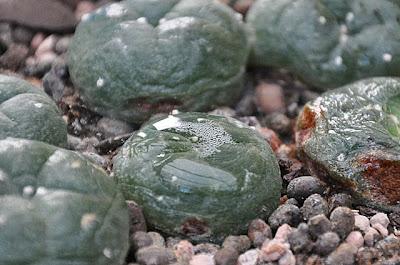 Thawed Lophophora williamsii seedlings