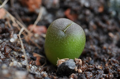 Echinocactus horizonthalonius seedling, close-up