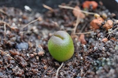 Echinocactus horizonthalonius seedling