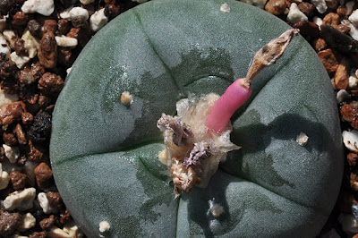 Trans-Pecos peyote with fruit, top view