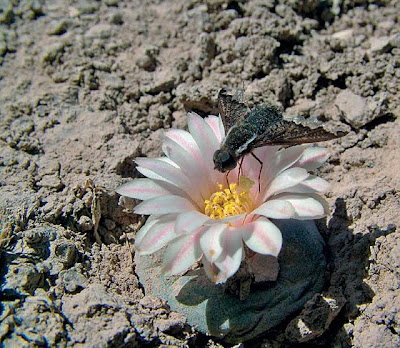 Lophophora alberto-vojtechii flower visited by an unidentified diptera