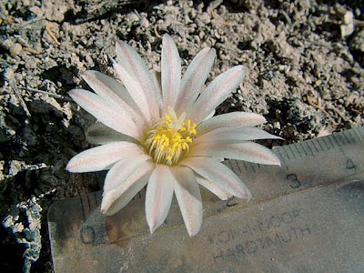 Zacatecan Lophophora alberto-vojtechii plant hidden by its flower