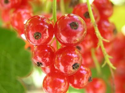 Redcurrant berries (Ribes rubrum)