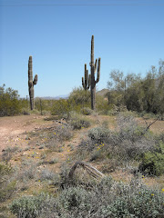 Saguaro cacti
