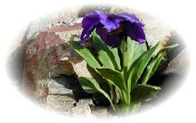 Scottish Rock Garden Club