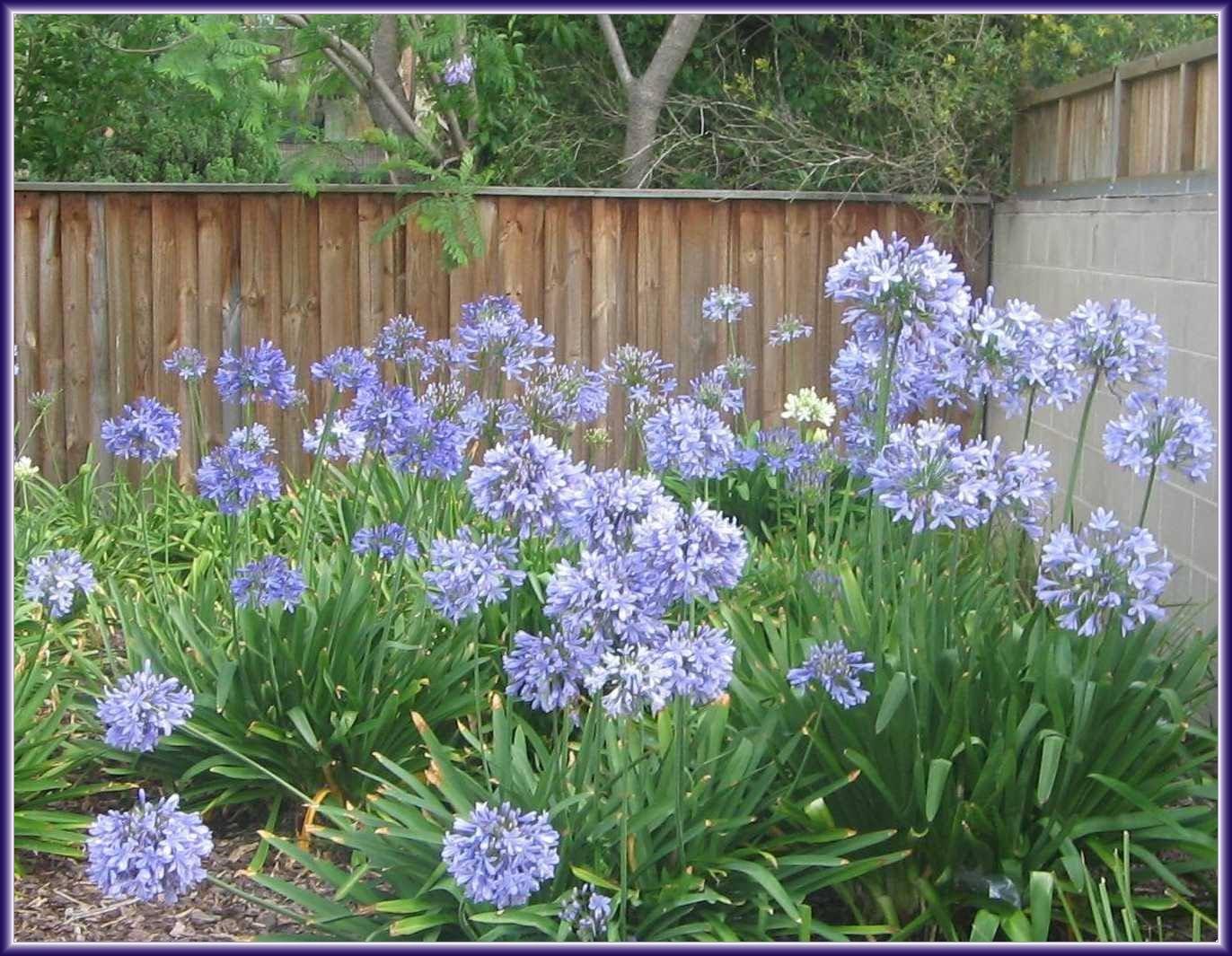 http://3.bp.blogspot.com/_049O4YhYX1w/TFWw0zdsFbI/AAAAAAAACkI/NbEu3AbRnAc/s1600/agapanthus_violet.jpg